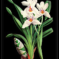 Vintage Orchid Print On Black Paperboard by Baptiste Posters