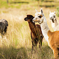 Alpaca In A Field. by Rob D Imagery
