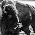 American Bison by Philip Rodgers