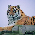 Amur Tiger by Martin Newman