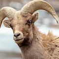 Bighorn Sheep Along The Platte River by Steve Krull