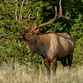 Elk by Ronnie and Frances Howard