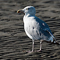 Seagull On Beach by Michael D Miller