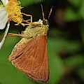 Skipper Butterfly by Larah McElroy