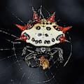 Spiny Orb Weaver by Larah McElroy