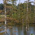 Tennesse Cypress In Wetland  by Darren Dwayne Frazier