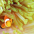 Western Clown Anemonefish Amphiprion by Dan Herrick