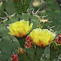 Yellow Prickly Pear Flowers by Tom Janca