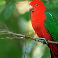 Australian King Parrot. by Rob D Imagery