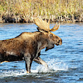 Bull Moose by Michael Chatt