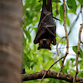 Flying Fox Bat by Rob D Imagery