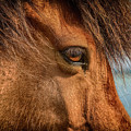Icelandic Horse by Peter OReilly