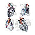 4 Views Of The Human Heart  by Steve Estvanik