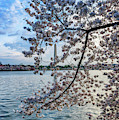 Washington Monument Cherry Blossoms by Thomas R Fletcher