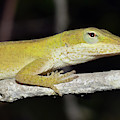 Anole by Larah McElroy