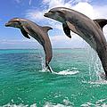 Delfin Grosser Tuemmler by Tier Und Naturfotografie J Und C Sohns