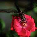 Dragonfly On A Flower Of A Red Rose. Macro Photo by Oleg Potaskuev