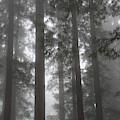 5 Fern Grove Fog N. California by Phyllis Spoor