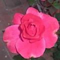 Pink Rose  by Nimu Bajaj and Seema Devjani