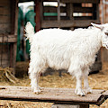 Goat Outside During The Day by Rob D Imagery