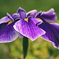 Iris Allure by Jessica Jenney