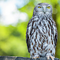 Barking Owl by Rob D Imagery