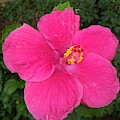 Bright Pink Hibiscus by Nimu Bajaj and Seema Devjani