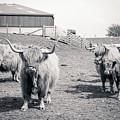Highland Cattle  by Malgorzata Larys