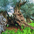 Old Olive Tree by Manolis Tsantakis