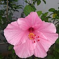 Pink Hibiscus by Nimu Bajaj and Seema Devjani