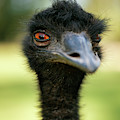 Australian Emu Outdoors by Rob D Imagery