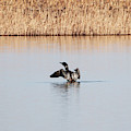 Common Loons by Lori Tordsen