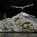 Grey Heron by Jouko Lehto