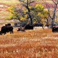 A Bison Herd In Custer State Park South Dakota by Gerlinde Keating - Galleria GK Keating Associates Inc