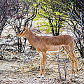 A Black Faced Impala, Namibia by Lyl Dil Creations