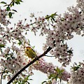 A Canary In A Cherry Tree  by Jim Lepard