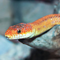 A Close Up Of A Ground Snake by Derrick Neill