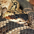 A Close Up Of A Mojave Rattlesnake by Derrick Neill