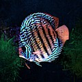 A Colorful Striped Discus Fish by Scott Wallace Digital Designs