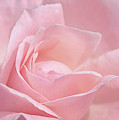 A Delicate Pink Rose by Susan Rissi Tregoning