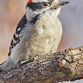 A Downy Woodpecker Calmly Regards His World On A Cold Day In Minnesota by Jim Hughes