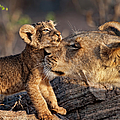 A Female Lion Panthera Leo And Her Cub by Annie Katz