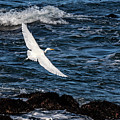 A Great Egret Soars Over Waves by Susan Wiedmann
