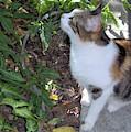 A Hemingway - Cat by D Hackett