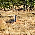 A Kori Bustard, Namibia by Lyl Dil Creations