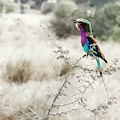 A Lilac Breasted Roller Sings, Desaturated by Kay Brewer
