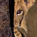 A Lion Cub Plays Hide And Seek Wildlife Rescue by Dave Welling