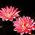 A Pair Of Pink Water Lilies by Richard Reeve