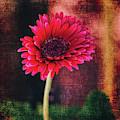 A Pink Gerbera Daisy by Janice Pariza