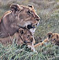 A Quiet Moment Lioness And Lion Cubs by Alan M Hunt